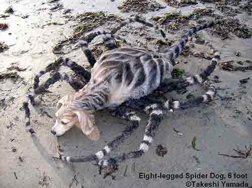 این را خود مجسمه ساز اسپایدار داگ , عنکبوت سگ نام گذاشته , حالا ربط این موجود به دریا چیست که در ساحل از آن عکس گرفته اند خدا عالم است .