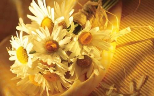 white-daisy-flower-desktop-wallpaper